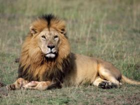 -lion