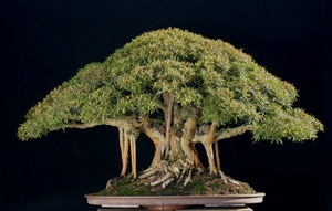 0.art_of_bonsai151.jpg