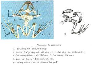 Kết quả hình ảnh cho Quan sát mẫu bộ xương ếch